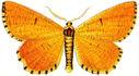 gravures_papillons_de_nuit_-_Angerona_prunaria.jpg