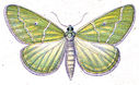 gravures_papillons_de_nuit_-_Antonechloris_smaragdaria.jpg