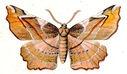 gravures_papillons_de_nuit_-_Apeira_syringaria.jpg