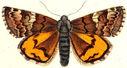 gravures_papillons_de_nuit_-_Archiearis_parthenias.jpg
