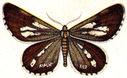 gravures_papillons_de_nuit_-_Bupalus_piniarius.jpg