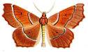 gravures_papillons_de_nuit_-_Campaea_honoraria.jpg