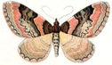 gravures_papillons_de_nuit_-_Catarhoe_rubidata.jpg