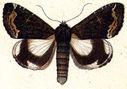 gravures_papillons_de_nuit_-_Catephia_alchymistra.jpg