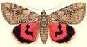 gravures_papillons_de_nuit_-_Catocala_electa.jpg