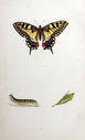 Gravures_de_papillons_-_Papilio_machaon_-_Papilio_regina_-_Jasonides_machaon_-_Amaryssus_machaon.jpg