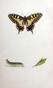 Gravures_de_papillons_-_Papilio_machaon_-_Papilio_regina_-_Jasonides_machaon_-_Amaryssus_machaon.jpg