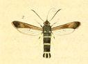 gravures_lepidopteres_crepusculaires_-_sesie_asiliforme_femelle.jpg