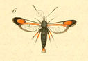 gravures_lepidopteres_crepusculaires_-_sesie_chalcidiforme_male.jpg