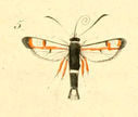 gravures_lepidopteres_crepusculaires_-_sesie_chrysidiforme_male.jpg