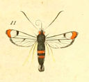 gravures_lepidopteres_crepusculaires_-_sesie_formiciforme_femelle.jpg