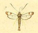gravures_lepidopteres_crepusculaires_-_sesie_ichneumoniforme_femelle.jpg