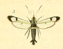 gravures_lepidopteres_crepusculaires_-_sesie_spheciforme_male.jpg