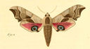 gravures_lepidopteres_crepusculaires_-_smerinthe_demi-paon.jpg