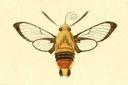 gravures_lepidopteres_crepusculaires_-_sphinx_bombyliforme.jpg