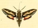 gravures_lepidopteres_crepusculaires_-_sphinx_de_la_garance.jpg
