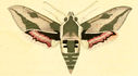 gravures_lepidopteres_crepusculaires_-_sphinx_du_tithy_male.jpg
