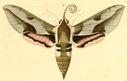 gravures_lepidopteres_crepusculaires_-_sphinx_nicea_femelle.jpg