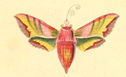 gravures_lepidopteres_crepusculaires_-_sphinx_petit-pourceau.jpg