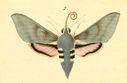 gravures_lepidopteres_crepusculaires_-_sphinx_vespertilie_male.jpg