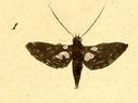 gravures_lepidopteres_crepusculaires_-_thyris_fenestree.jpg