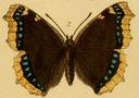Gravures_papillons_de_jour_-_vanessa_antiopa.jpg