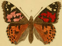 Gravures_papillons_de_jour_-_vanessa_cardui.jpg