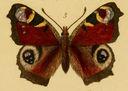 Gravures_papillons_de_jour_-_vanessa_io.jpg