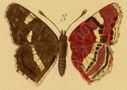 Gravures_papillons_de_jour_-_vanessa_prorsa.jpg