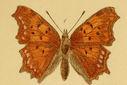 Gravures_papillons_de_jour_-_vanessa_triangulum.jpg