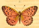 gravures_papillons_de_jour_-_argynne_elisa_male.jpg