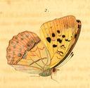 gravures_papillons_de_jour_-_argynne_laodice_femelle_dessous.jpg