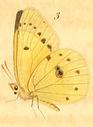 gravures_papillons_de_jour_-_coliade_chrysotheme_dessous.jpg
