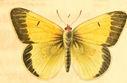 gravures_papillons_de_jour_-_coliade_chrysotheme_male.jpg