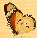 gravures_papillons_de_jour_-_danaide_chrysippe_chrysippus_dessous.jpg
