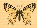 gravures_papillons_de_jour_-_thais_cerisy_cerisyi_male.jpg