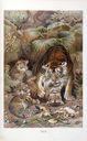 Mammiferes_-_Felis_tigris-.jpg