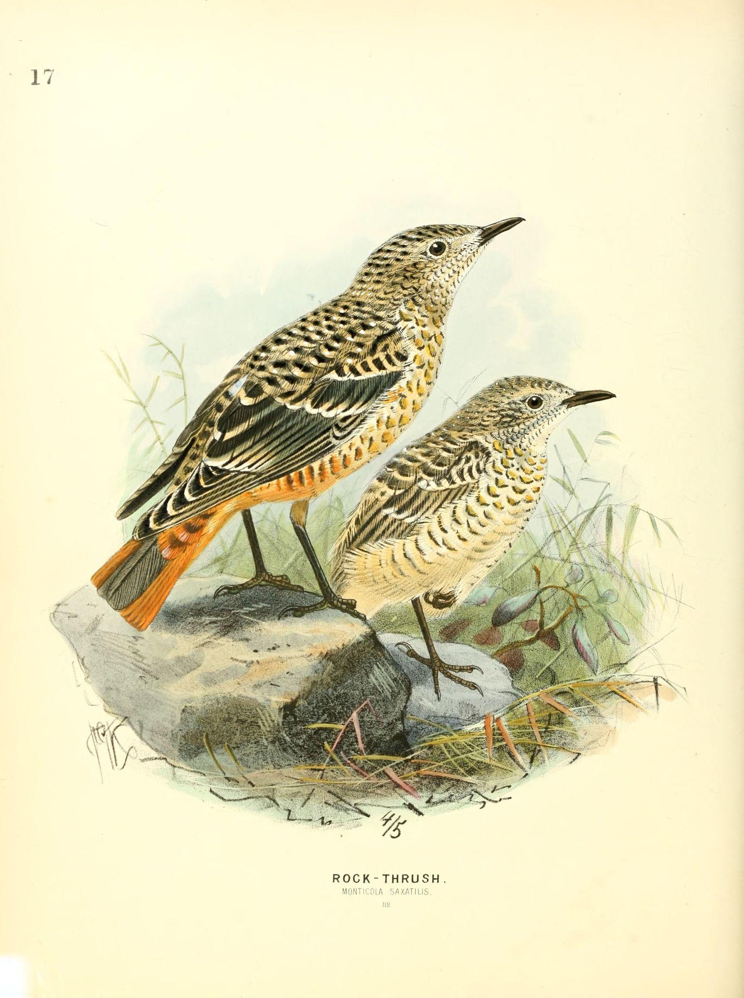 Oiseaux europe gravures oiseaux europe gravures oiseaux for Les petits oiseaux
