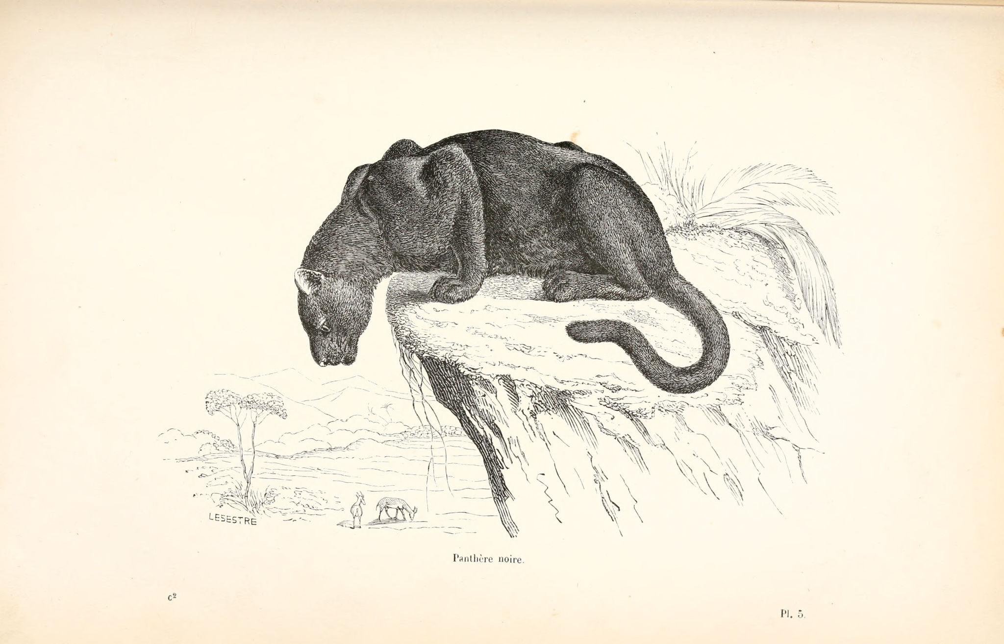 Dessins Animaux Histoire Naturelle Animaux 457 Panthere Noire Gravures Illustrations Dessins Images