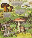 dessins_exercices_observation_CE_CM_135_-_quelques_champignons_veneneux.jpg