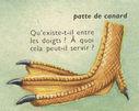 Dessins_lecons_de_choses_CM_-_canard-patte.JPG