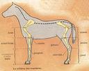 Dessins_lecons_de_choses_CM_-_cheval-membres.JPG