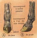 Dessins_lecons_de_choses_CM_-_cheval-pied.JPG