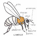 dessins_lecons_de_choses_CM1_-_abeille-schema.jpg