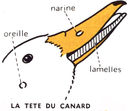 dessins_lecons_de_choses_CM1_-_canard-tete.jpg