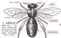 Lecons_de_choses_au_cours_moyen_192_schema_d_une_abeille.jpg