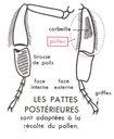 Lecons_de_choses_au_cours_moyen_194_schema_des_pattes_posterieures_d_une_abeille.jpg