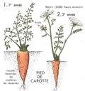 Lecons_de_choses_au_cours_moyen_219_pousse_de_la_carotte.jpg