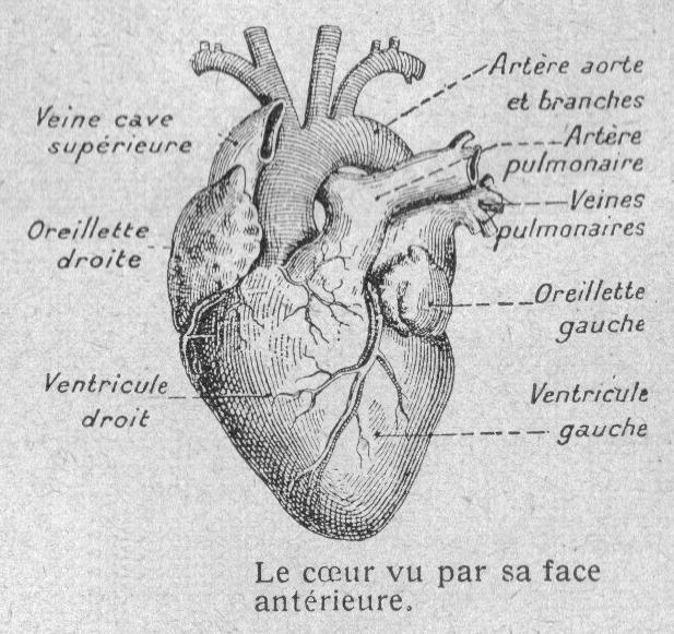 Dessin Coeur Humain dessins scolaires anatomie et physiologie animales - dessins