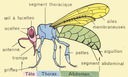 Dessins_scolaires_observation_CM_-_abeille.jpg